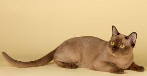 معلومات عن القط البورمي