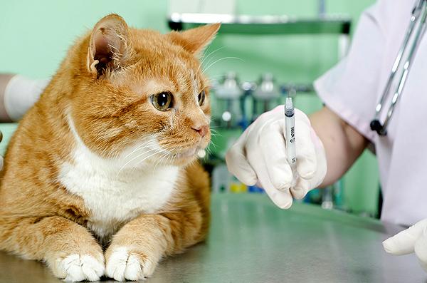 تطعيمات القطة