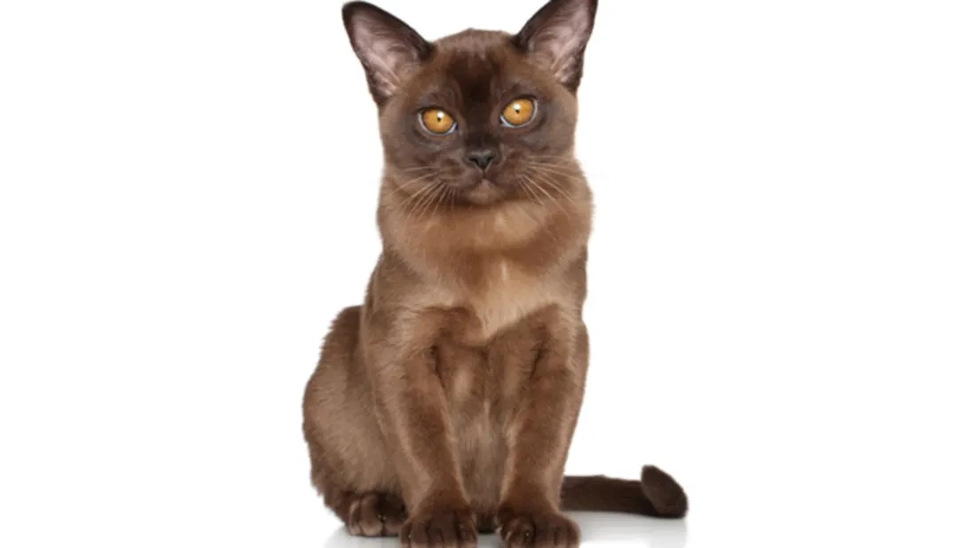 Information about the Burmese cat