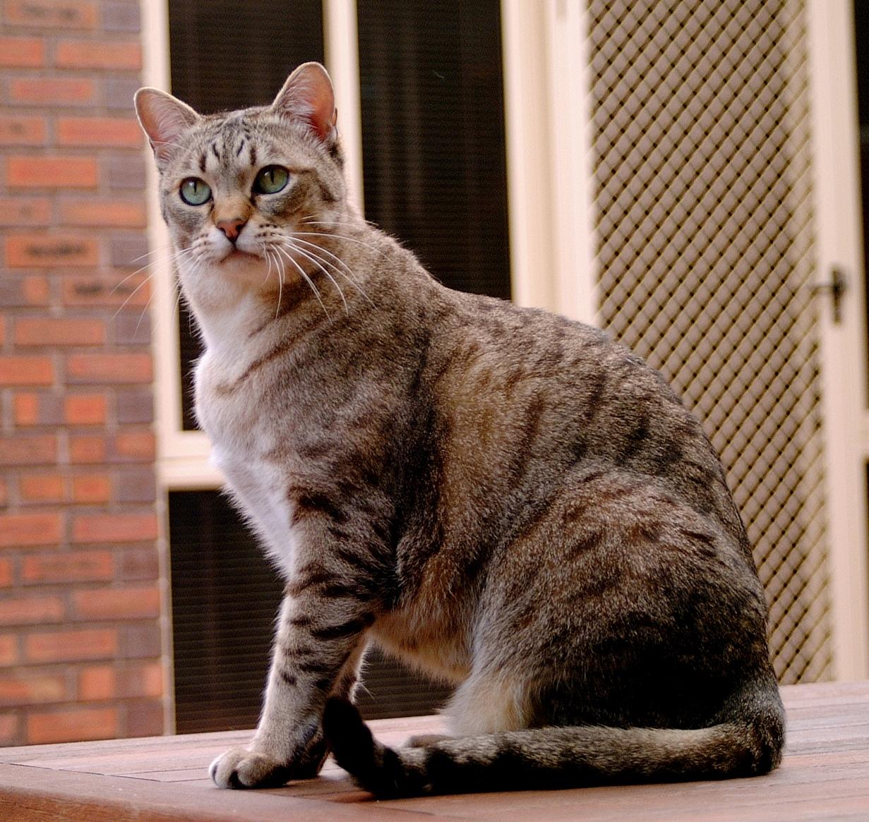 القط ميست الاسترالي