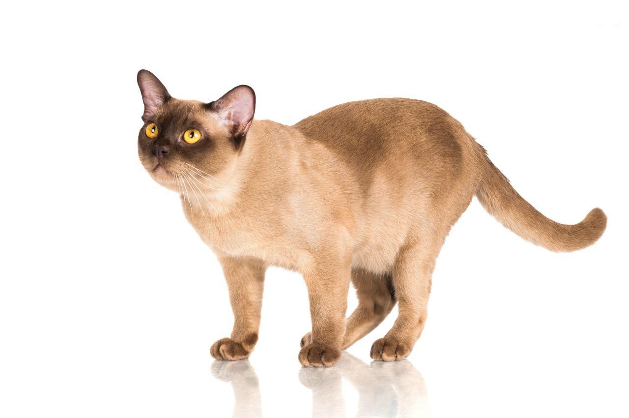 القط البورمي
