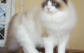 القط راغدول