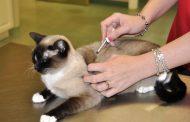فيروس ابيضاض الدم لدى القطط