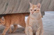 القط ماو العربي
