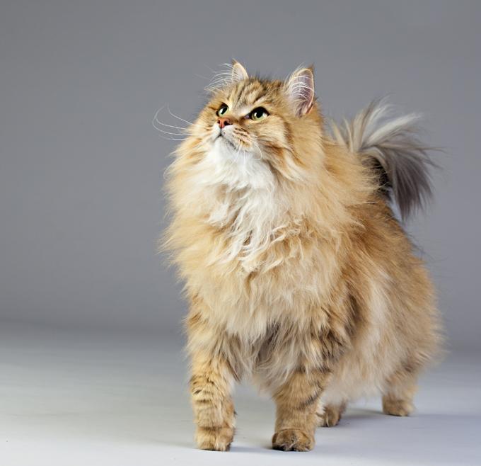 مميزات وصفات القطط