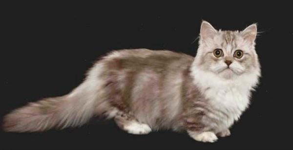 أهم معلومات مثيرة عن أنواع القطط القزمة